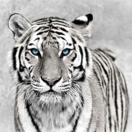 Quadro in vetro Tigre 45x45