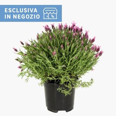 Lavanda Lavandula angustifolia 14 cm