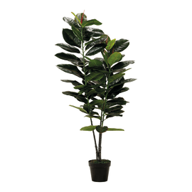Pianta Ficus naturale